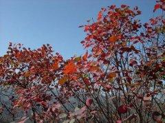 枫叶随风自在摇,秋来润色淡然娇